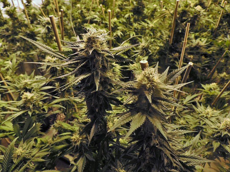 Blühende feminisierte Hanfpflanzen kurz vor der Ernte in einem Indoor-Growroom