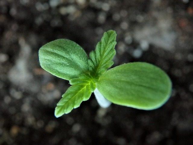 Keinmling der Hanfpflanze wenige Tage nach der Aussaat