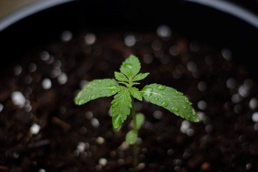 In Wachstumserde umgetopfter Hanf-Sämling